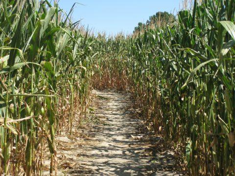 Corn Maze Straightaway