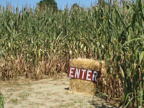 Entrance of the Corn Maze